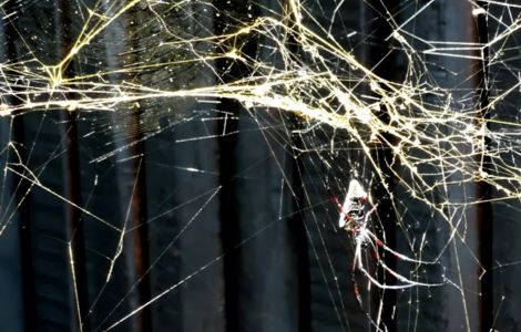 Golden Orb Spider population