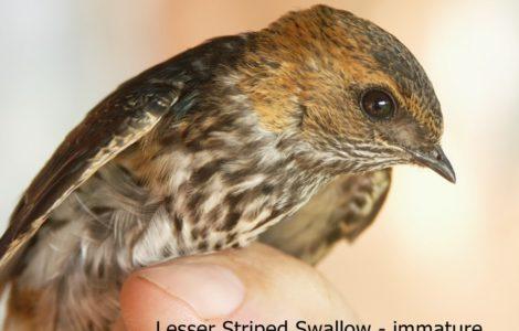 Ubizane Striped Swallow