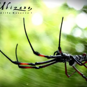 Golden Orb Spider population