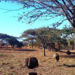 Ubizane Ostriches
